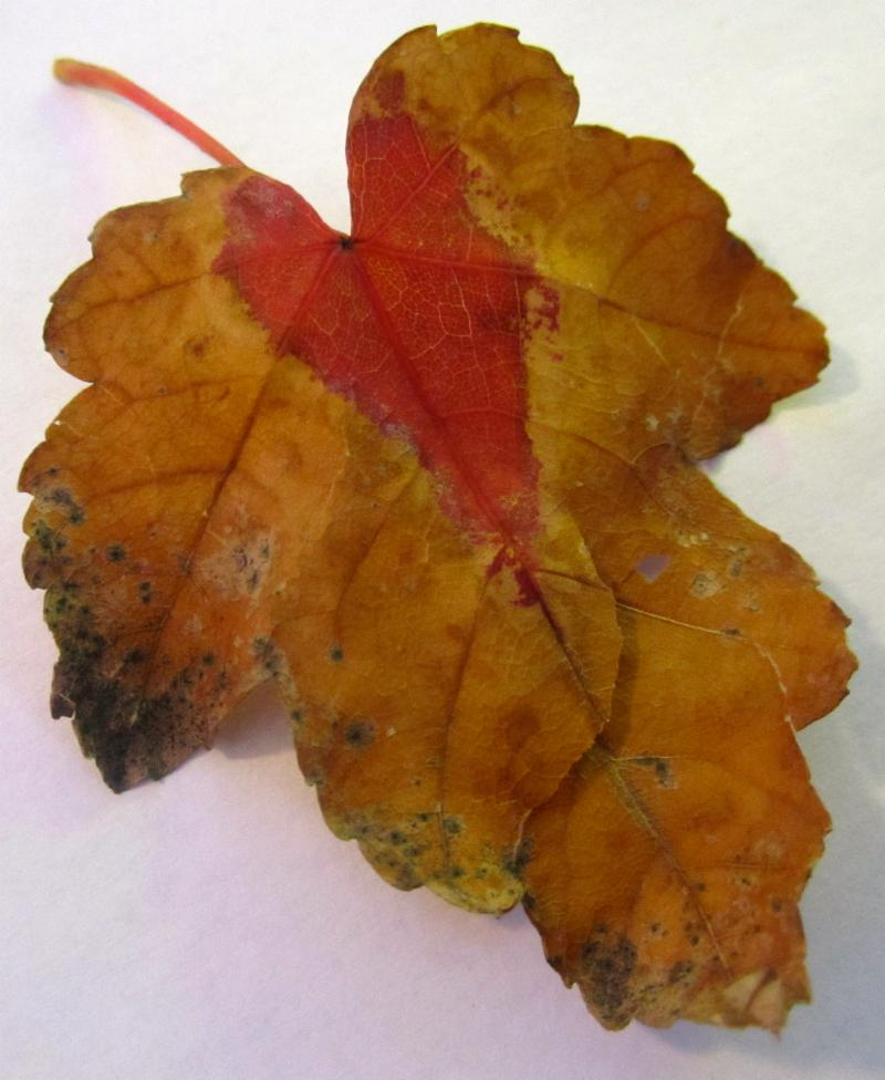 fall leaf with red heart