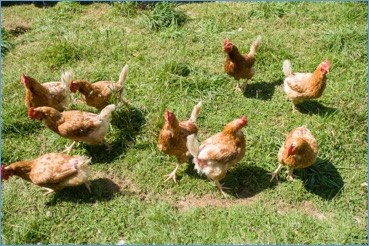 chickens poultry