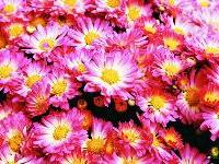 Chrysanthemum 'Stacy'