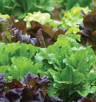 Lettuce - Burpee