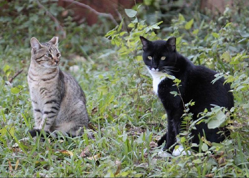 Tuxedo with kitten