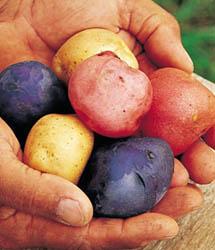 Potatoes Fourth July