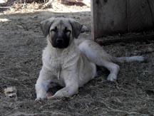 Sholey - pup 2012