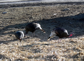 2013 Spring Turkeys