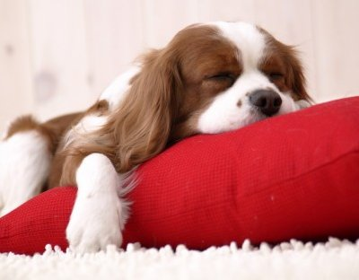 Cavalier Sleeping