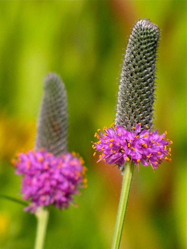 Purple Prairie Clover by Dawn Mazur