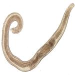 pinworms01.jpg