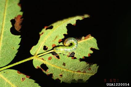 Caterpillar on eaten leaf