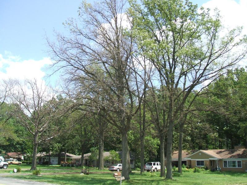Defoliated Oak Tree