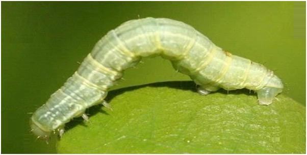 caterpilllar with white border