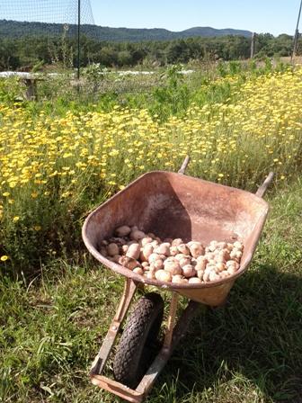 June Potato Harvest