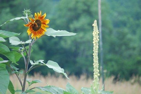 sunflower mullien