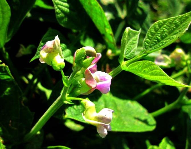 green bean flower