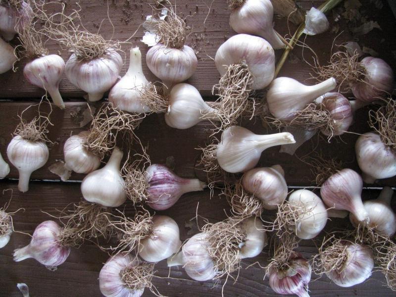 Garlic Bulbs 2012