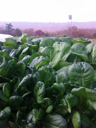 Bok Choi in Autumn
