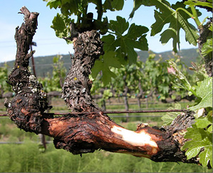 Grapevine with trunk disease