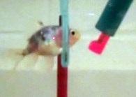 Goldfish Training