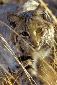 bobcat (photo copyright Sue Morse)