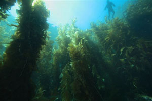 Kelp forest canopy.