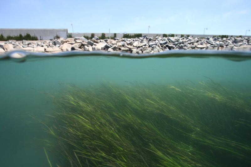 eel grass at huntington beach wetlands