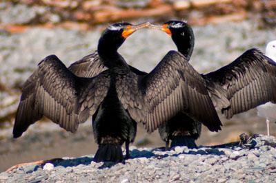 Two cormorants touching beaks with wings spread.