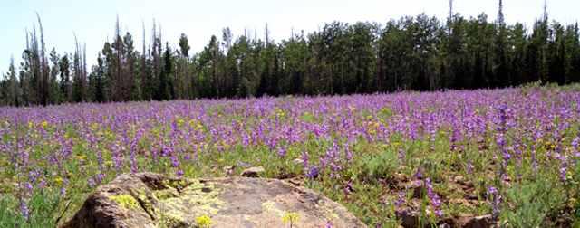 Wildflowers at Cedar Breaks National Monument