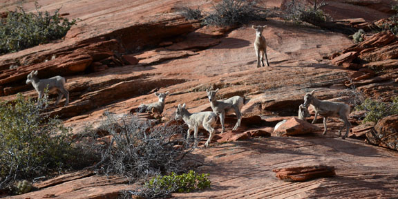 Bighorn Lambs in Zion National Park