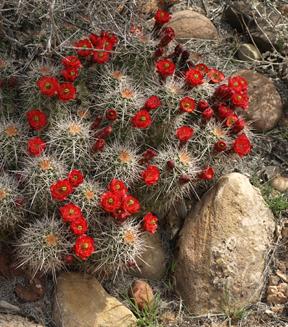 Zion Claret Cup Cactus