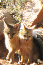 Fox pups in Zion National Park