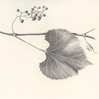 Sketch of Canyon Grape Leaf by Tom Blaue
