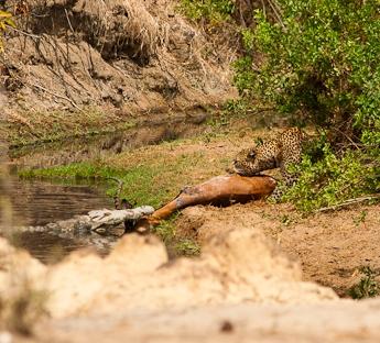 Tug of War: Leopard v. Crocodile