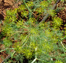 garden fennel