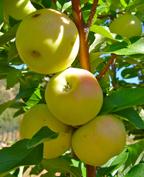 garden 2010 3 apples
