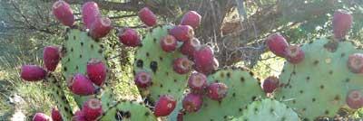 cactus fruit 1