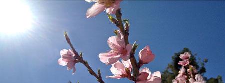 peach blossom 130322
