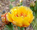 prickly pear 4