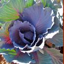 garden red cabbage