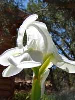 iris-white-2