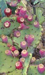cactus fruit 8