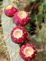 cactus fruit 6