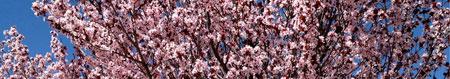 prunus blossoms 130322