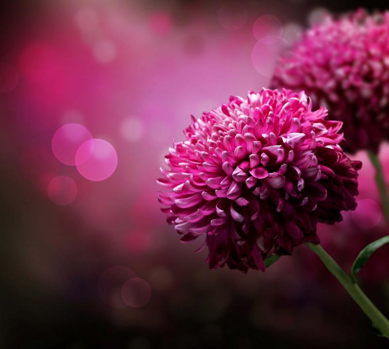 flor viloeta