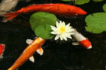 3 koi and Waterlily