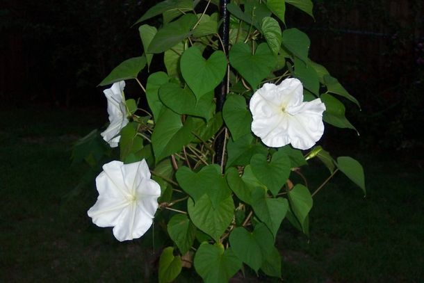 Moon Flower Blooming at Night