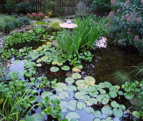 Pond with Joe Pie weed