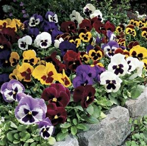 Mix of Pansies