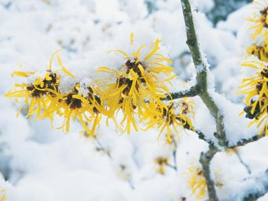 Witch Hazel | Landscape Brighteners