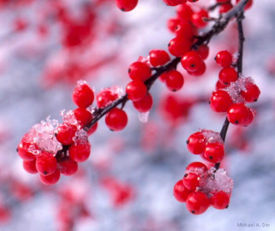 Winterberry | Landscape Brighteners
