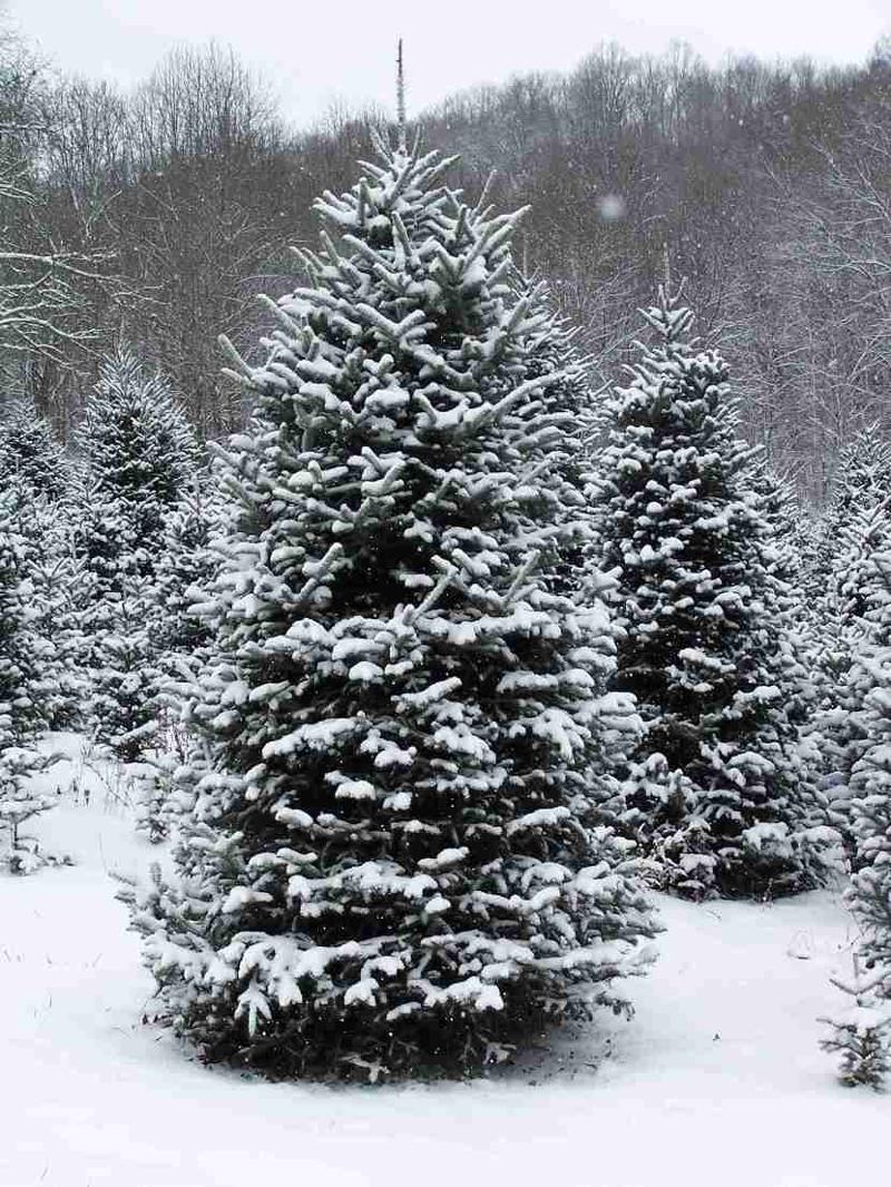 SnowyEvergreen