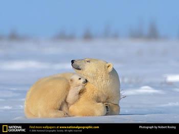 polar bear baby